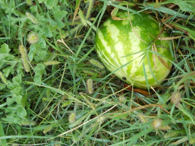 The watermelons and melons are maturing late but we have at least 20 or so on the vine.