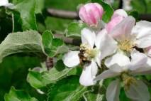 ...привлекая своим благоуханием тысячи пчел