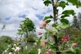 Бутоны цветов яблони