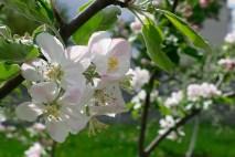 Цветы молодой яблони