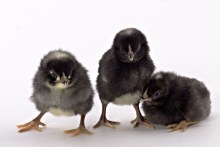 https://www.mypetchicken.com/images/product_images/Popup/chicks_barred_rock1.jpg