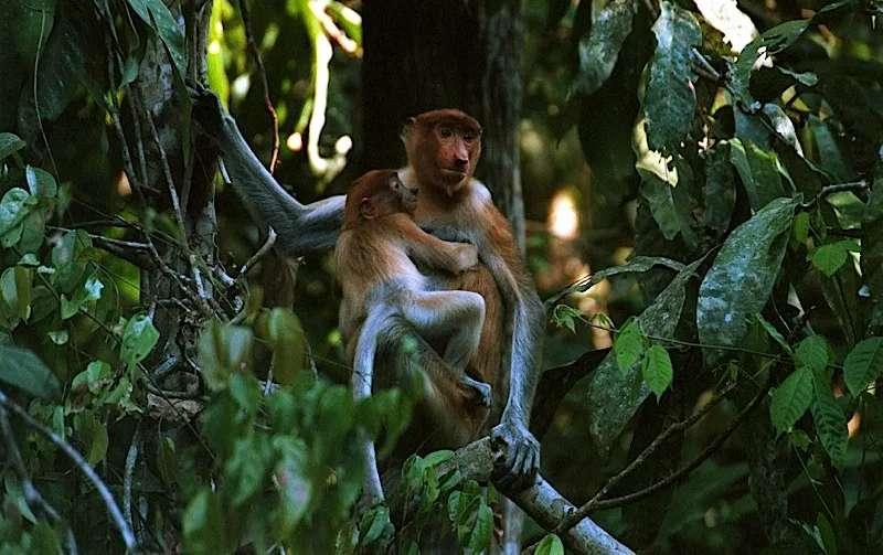 Female proboscis monkey and baby, Sabah, Malaysia.
