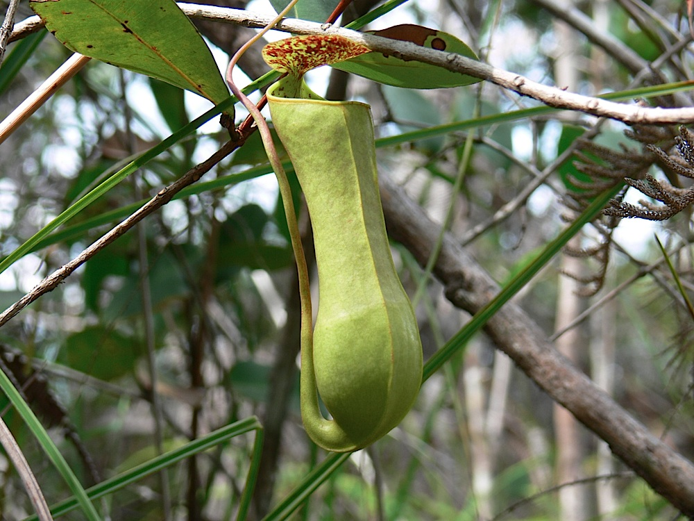 Pitcher plants are common along the trails at Bako National Park, Sarawak, Malaysia.