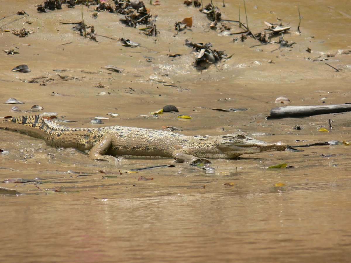 Estuarine crocodiles are occasionally sighted on the river banks during the mangrove cruise, Sarawak, Malaysia