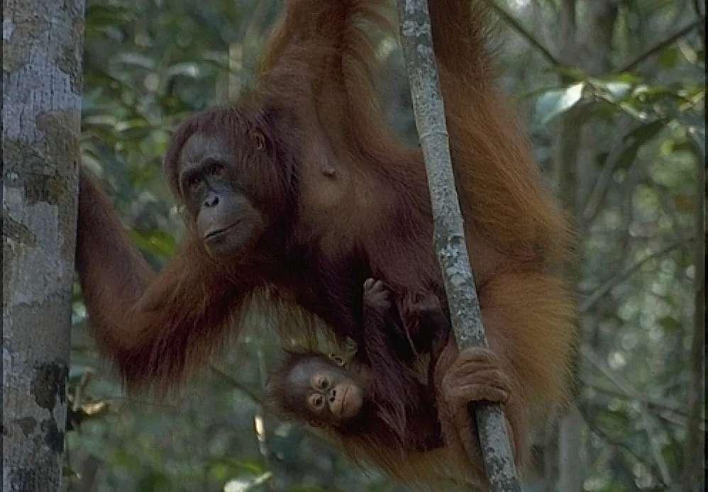 Mother and baby orang utan swinging on a tree, Semenggoh, Sarawak, Malaysia
