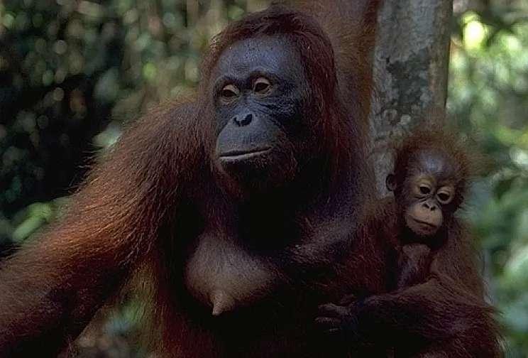 Mother and baby orang utan, Semenggoh, Sarawak, Malaysia