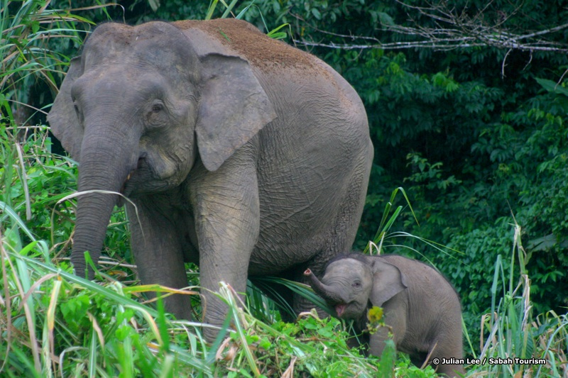 Elephant mother and calf along the banks of the Kinabatangan River, Sabah, Malaysia.