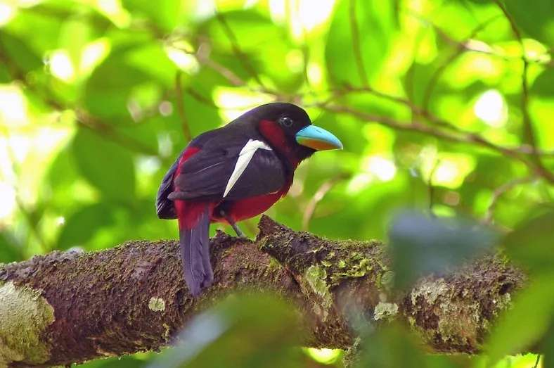 A black and red broadbill at Tabin Wildlife Reserve, Sabah, Malaysia
