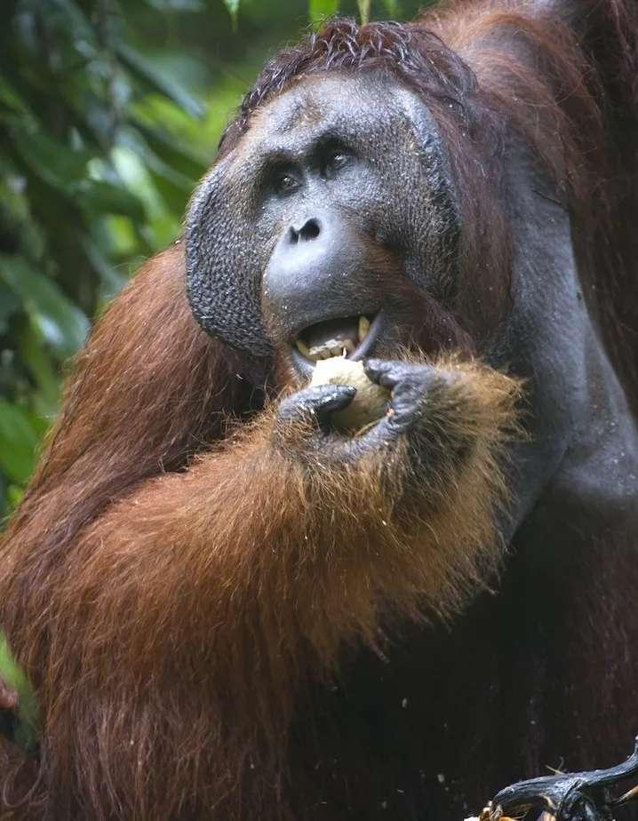 Mature male orangutan, Ritchie, at Semenggoh Orangutan rehabilitation centre, an area of 740 hectares of primary forest near Kuching in Sarawak.