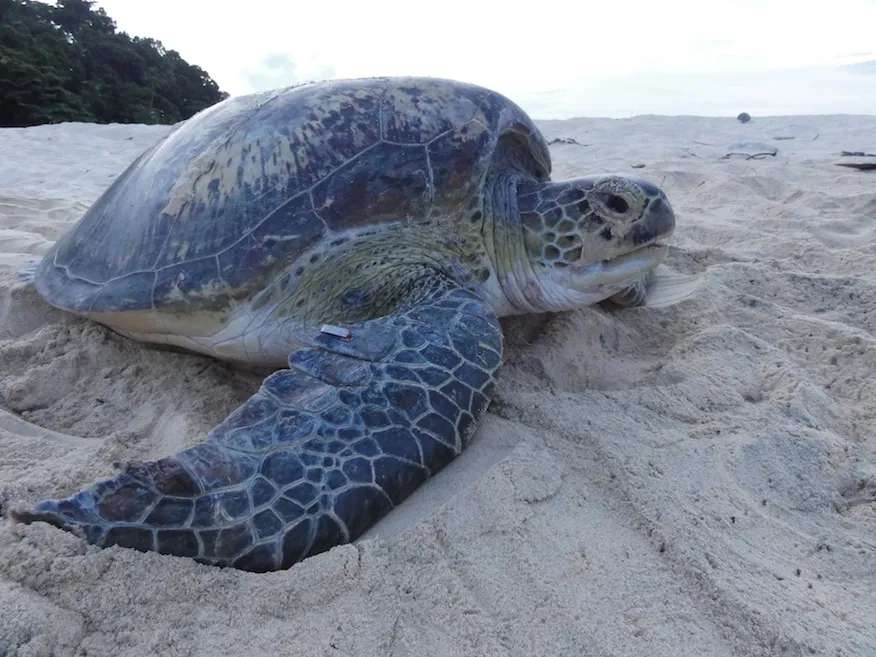 Green turtle makes its way back to the sea after laying eggs on Pulau Talang Besar in Sarawak