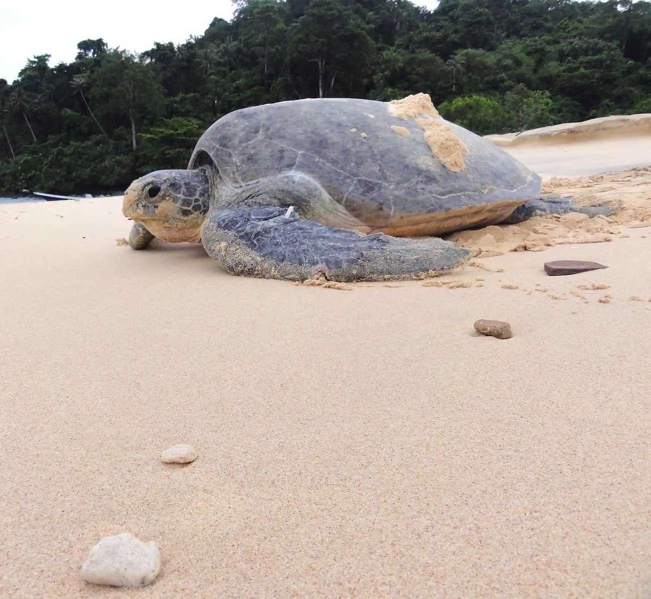 Turtle at Talang Besar Island, Sarawak