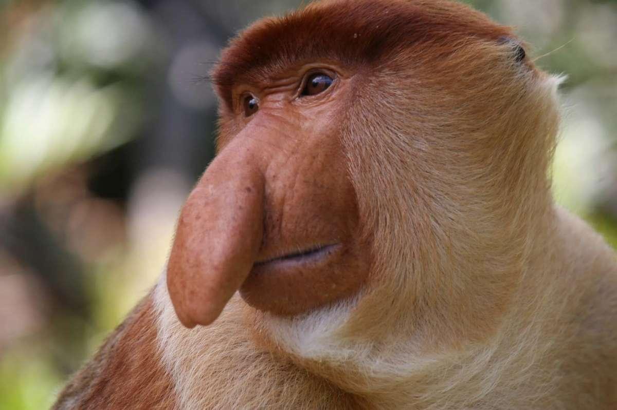 Male proboscis monkey at Labuk Bay, Sandakan, Sabah, Malaysia