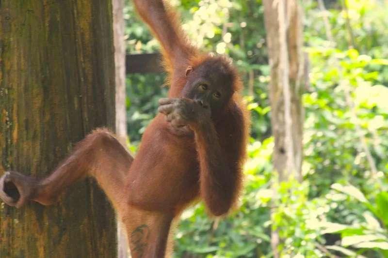 Orangutan at Sepilok, Sabah, Malaysia