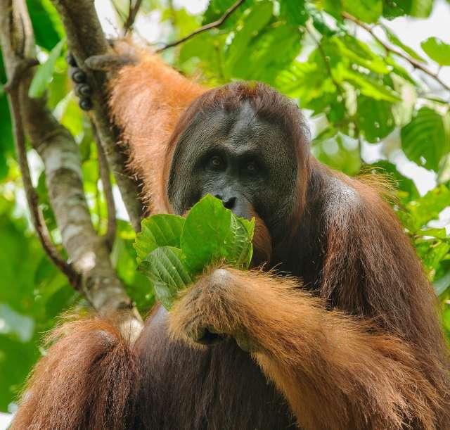 Searching for Wild Orangutan