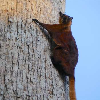 Watching Red Giant Flying Squirrels at Sepilok, Sabah