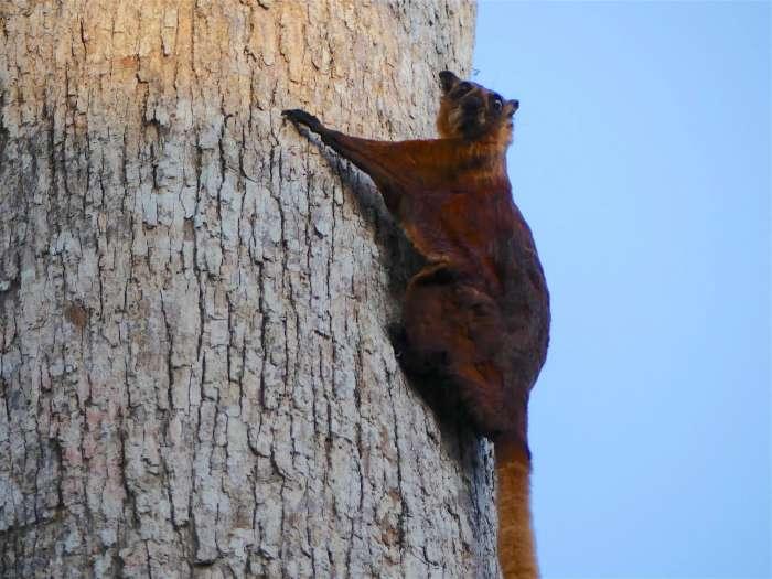 Watching Red Giant Flying Squirrels at Sepilok, Sabah