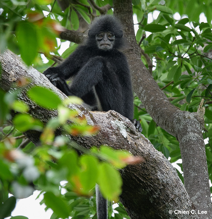 Is It Too Late To Save The Sarawak Langur?
