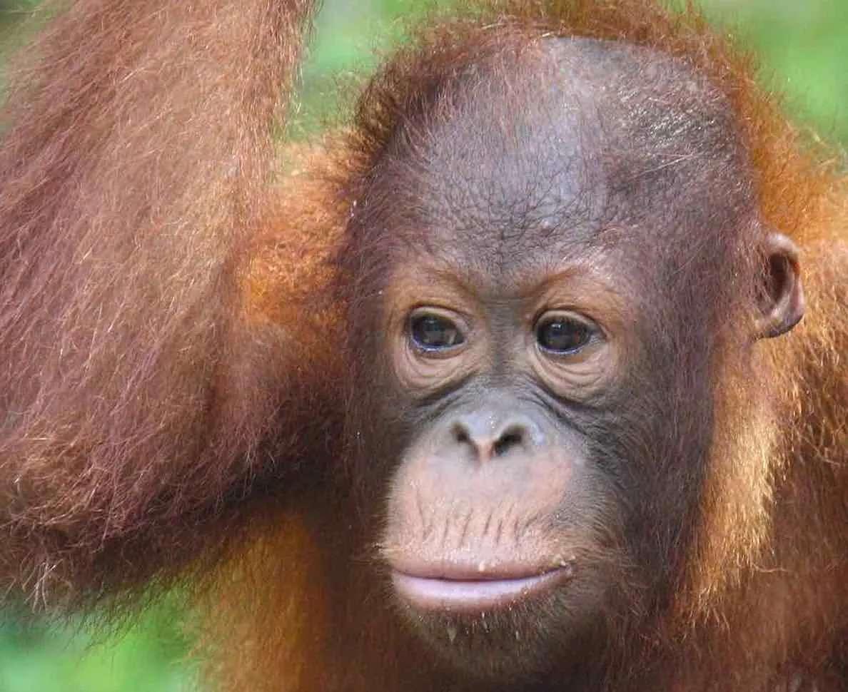 orangutan at semenggoh, Kuching