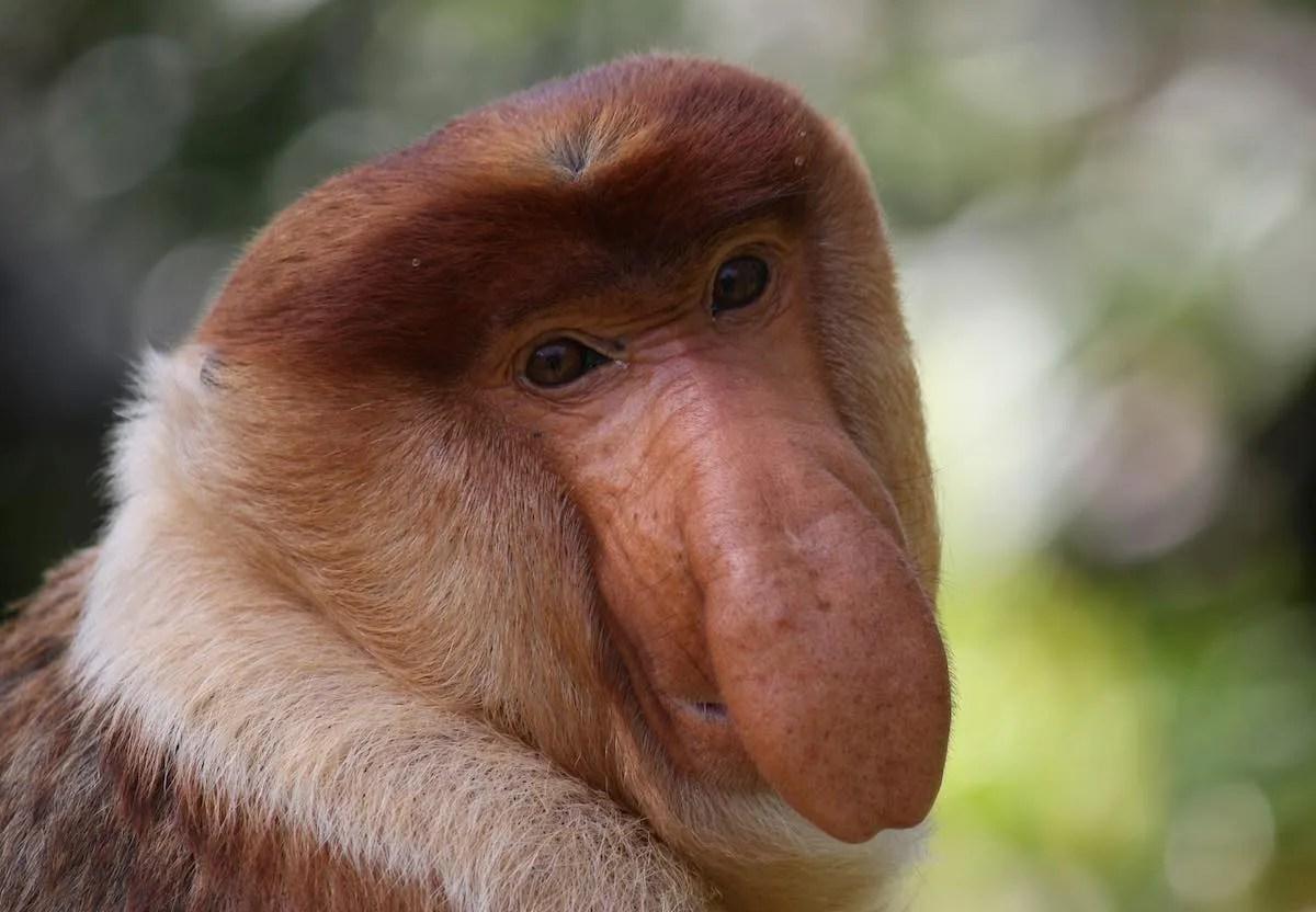 proboscis monkey, sabah