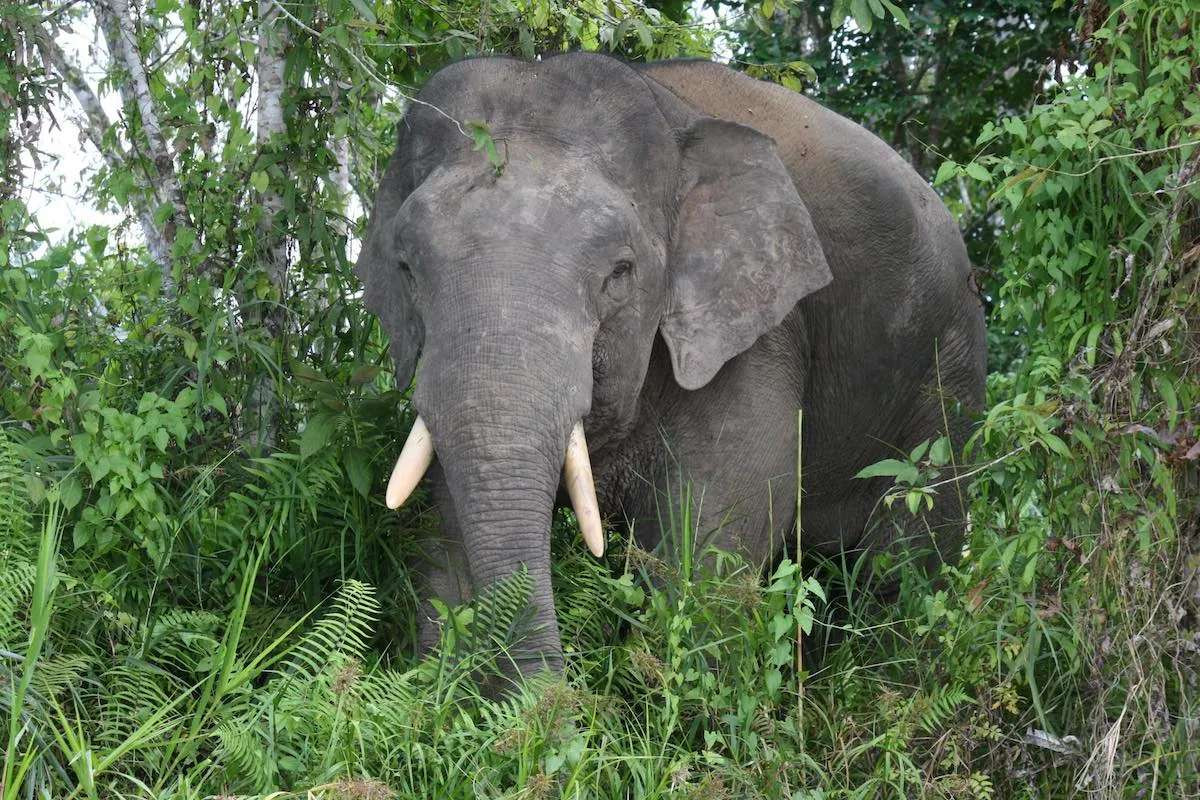 pygmy elephant on banks of kinabatangan river, sabah