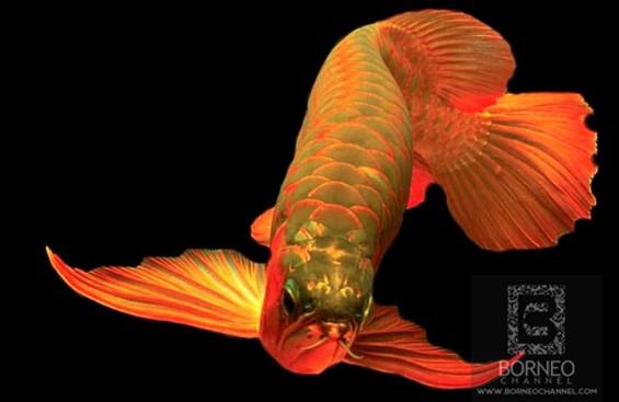 Budidaya ikan arwana super red