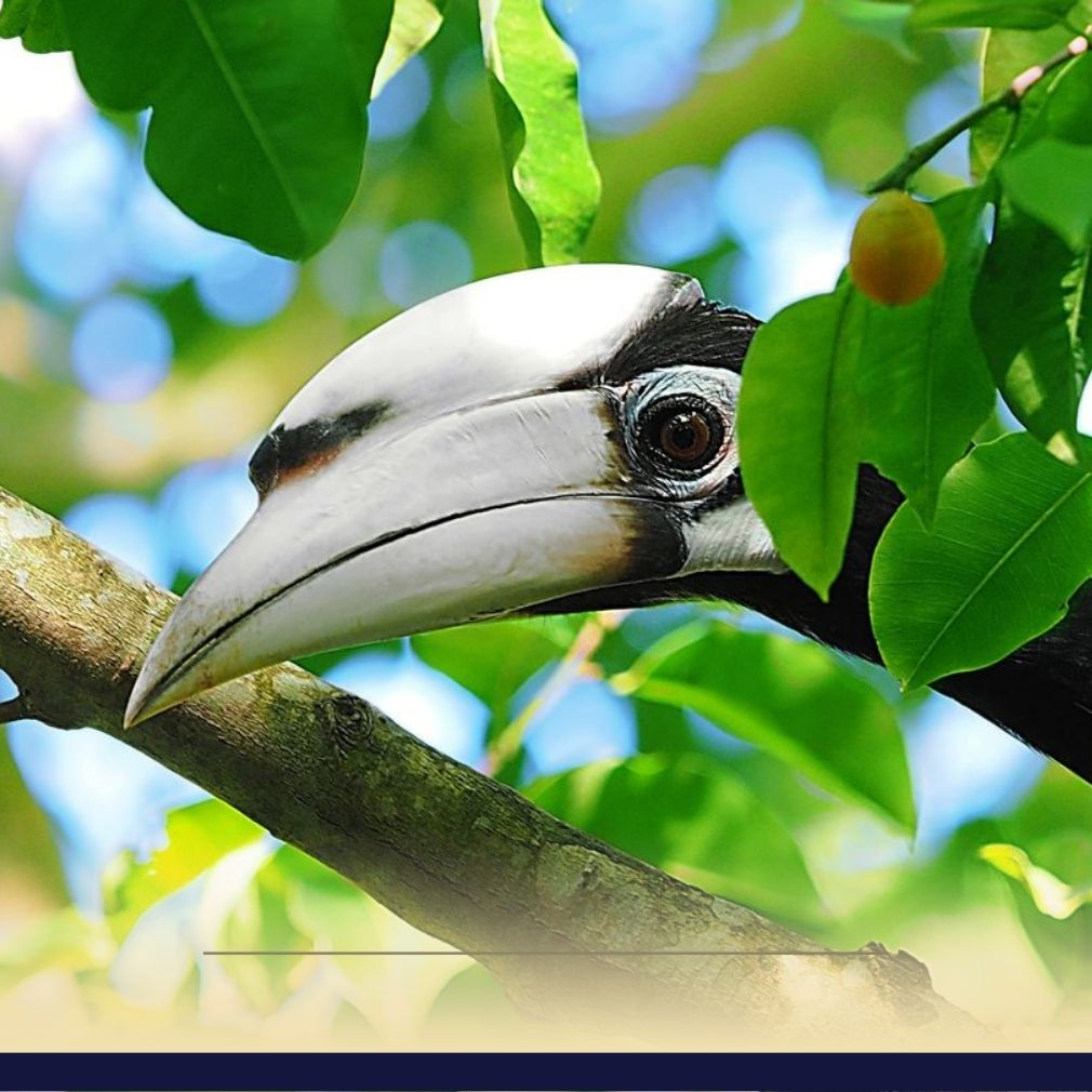 burung enggang vector