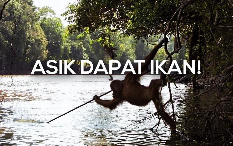 Ternyata Orangutan Kalimantan Dapat Menggunakan Alat Seperti Manusia!