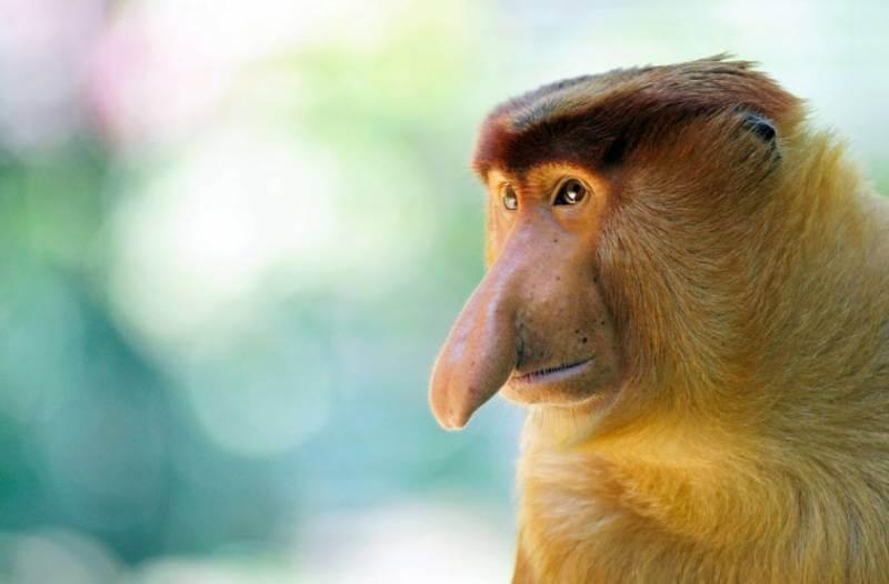 Monyet Bekantan Kalimantan Gambar Habitat Nama Latin Vector Dan