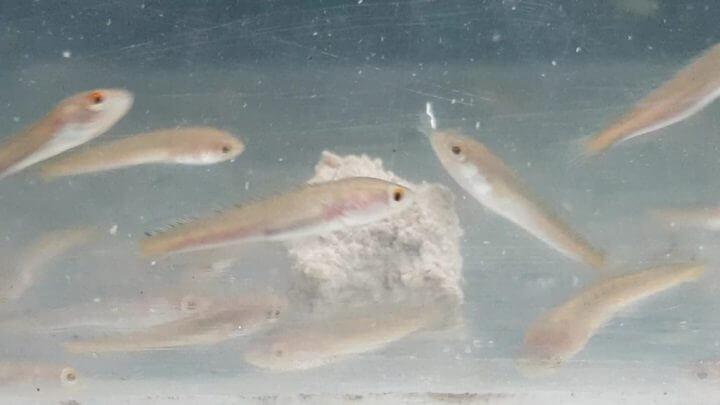 fisik benih ikan lele
