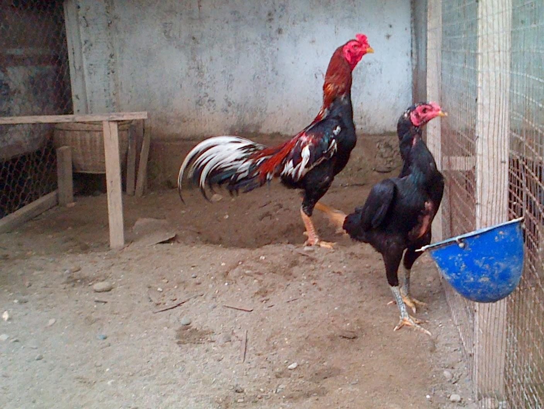 ayam bangkok