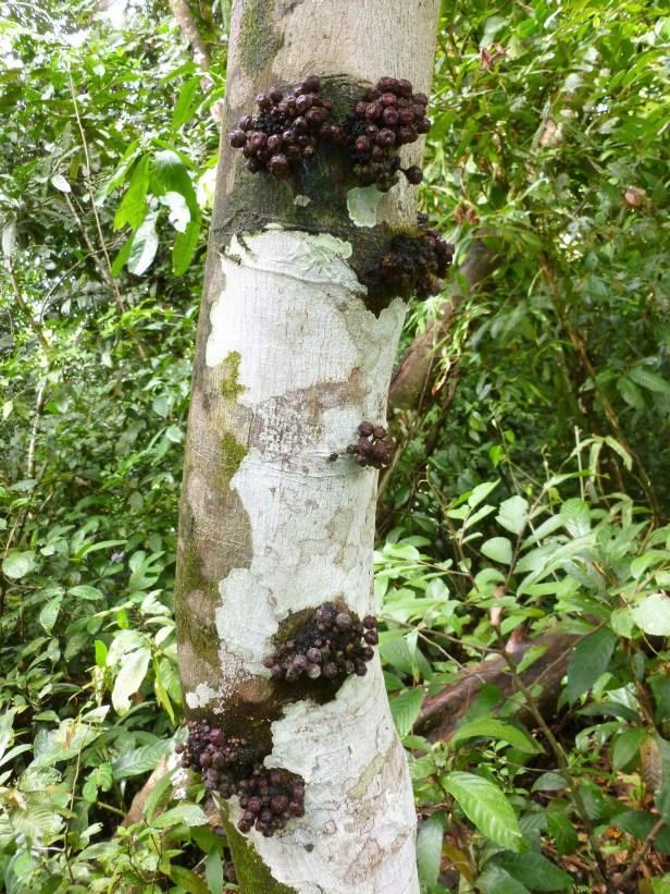 03-moraceae-ficus-merah-4