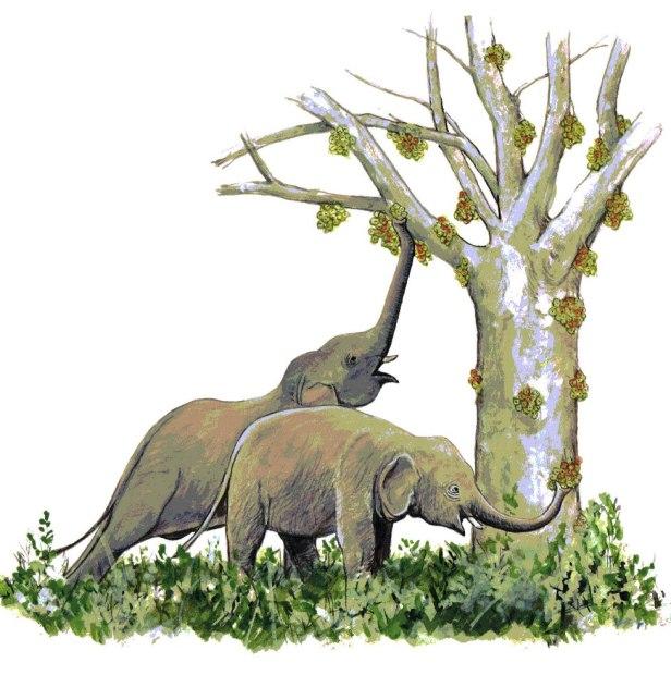 076 KP mam Ficus racemosa+elephant 300DPI.jpg