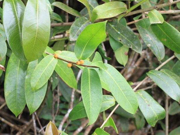 Acamptophylla IMG_7816.JPG