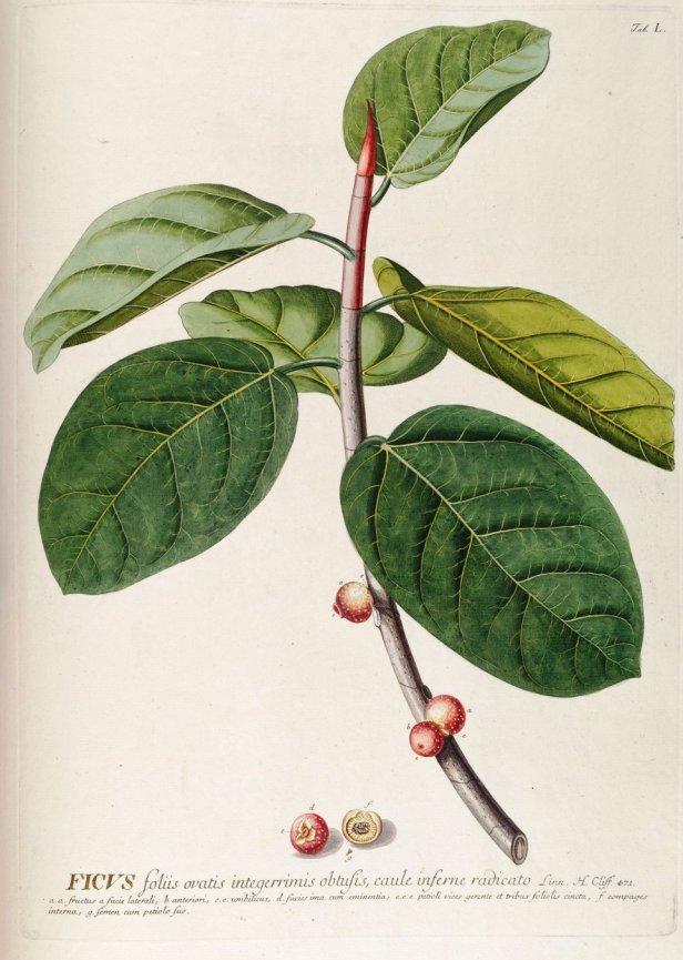 ficus-benghalensis-india-58548