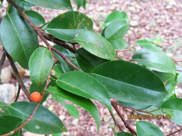 Ficus benjamina IMG_0041.JPG