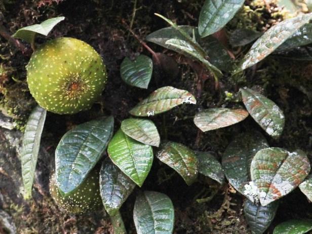 Ficus cavernicola IMG_2124.JPG