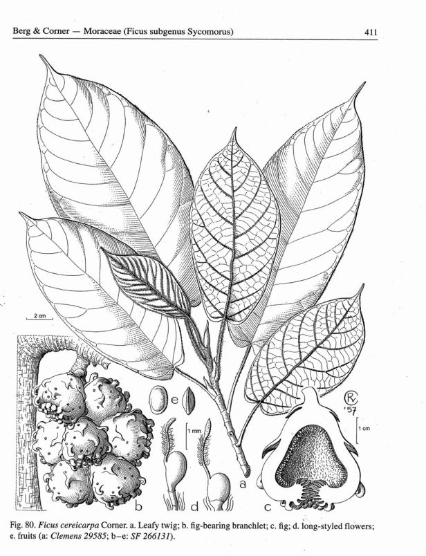 Ficus cereicarpa Corner.jpg