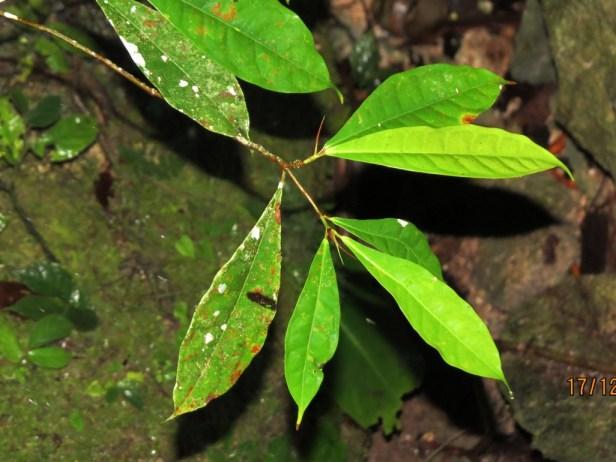 Ficus chartaceae IMG_4316.JPG