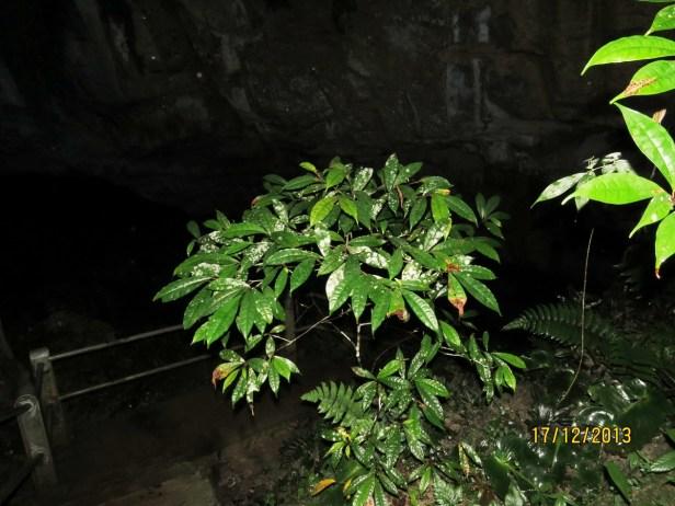 Ficus chartaceae IMG_4366.JPG