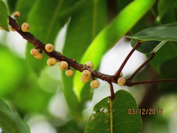 ficus-crasiramea-img_3671