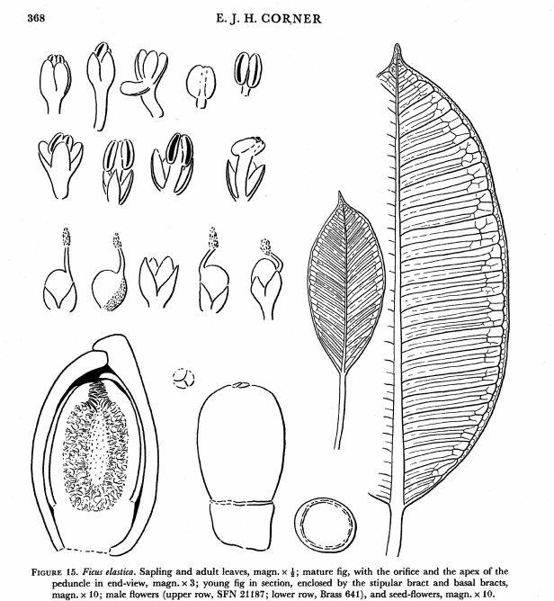Ficus elastica Corner  (1978).jpg