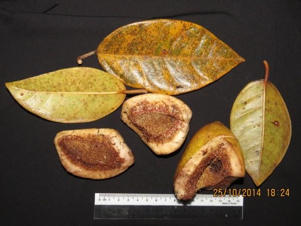 ficus-grandiflora-img_0261-copy