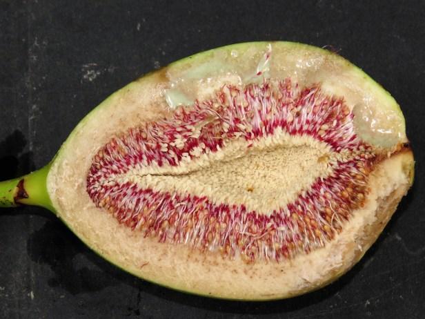 ficus-grandiflora-img_4039