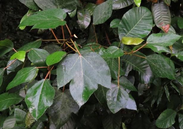 Ficus grossularioides IMG_0882.JPG