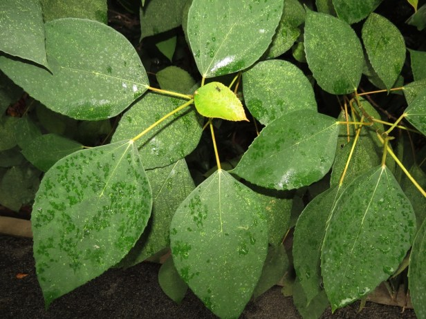 Ficus grossularioides IMG_0972.JPG