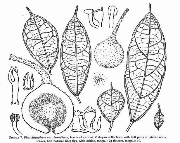Ficus heteropleura Corner drawing.jpg