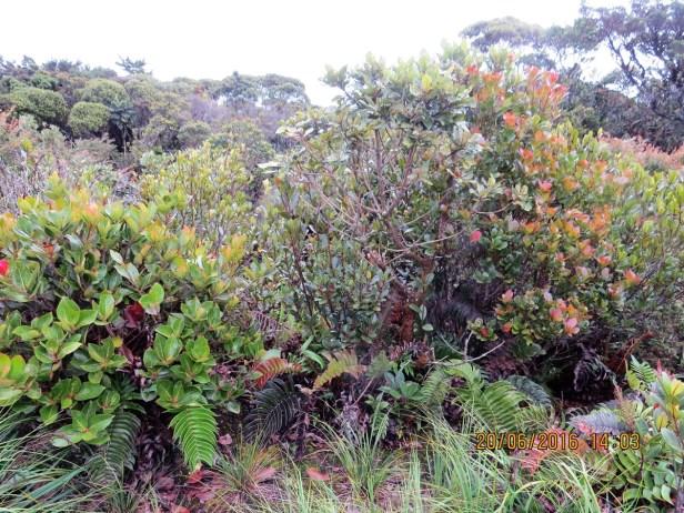 ficus-oleifolia-img_5017