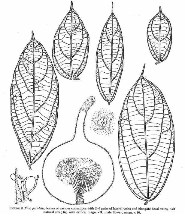 Ficus parietalis Corner drawing.jpg