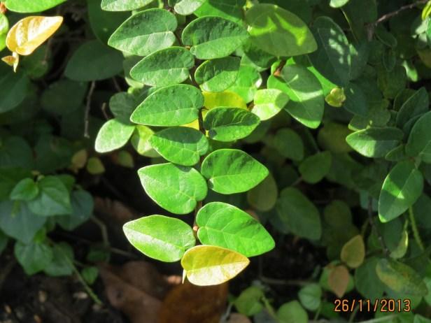 Ficus Pumila IMG_0143 - Copy.JPG