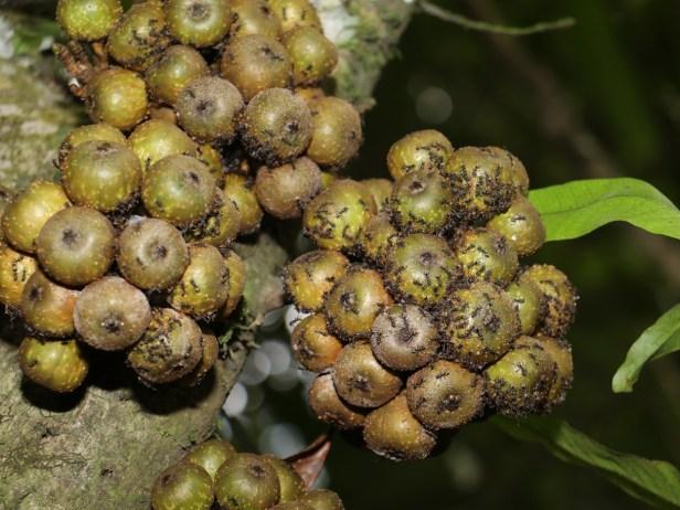 ficus-rosulata-3p7a1828